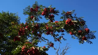 Red rowan berries in early autumn