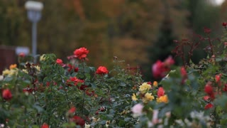 Russia ,Belgorod -September 12, 2016 Recreation Park with beautiful flower beds of roses. Autumn trees. Russia Belgorod