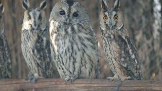 Several curious eared owls sitting on pole