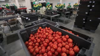 Sorting and packing-harvest tomato