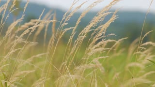 Swaying grass field. Herbs movement of the wind, the colors of nature