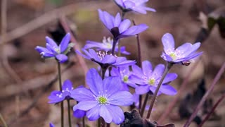 The first spring flowers in the wild forest.