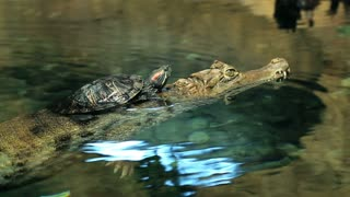 Turtle creeps on a crocodile