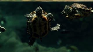 Underwater red-eared sliders, underwater