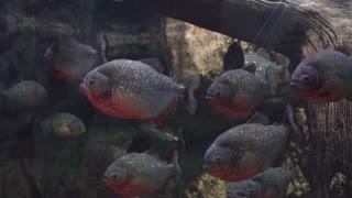 A flock of dangerous predatory fish Amazons piranha under the water
