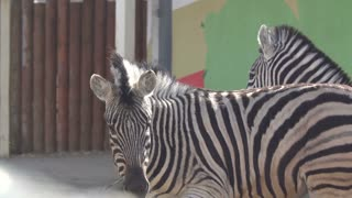 Animal zebra Striped animal