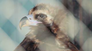 Bird black vulture closeup