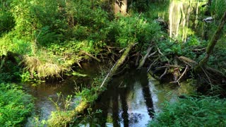 Forest Stream among the green plants, beaver dam, clear water
