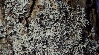 lichen that grows on a tree panorama