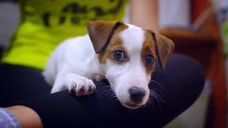 Mistress petting Jack Russell Terrier puppy