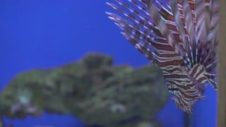 Poisonous fish lionfish close-up