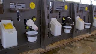 Small calves on the farm