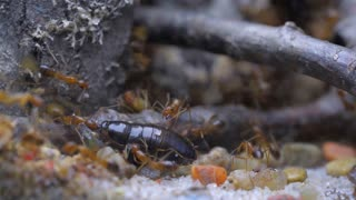 The ants attacked the cockroach. Super macro shooting