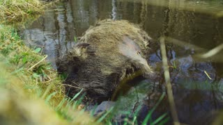 The dead animal lies in the river. A wild boar died in the river.