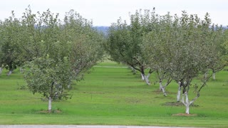 young apple trees Even without fruit