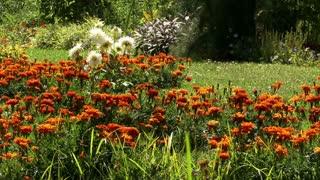 Blooms 0412: Orange flowers bloom in a casual summer garden (Loop).