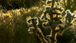 Desert Blooms 0209: A cactus in late light in a California desert.