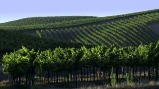 Wine Country 0105: Rows and rows of grapevines up and down the hills.