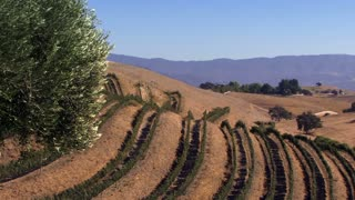 Wine Country 0108: Rows of grapevines on a golden hill under an olive tree in the breeze.