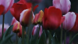 close up of colorful tulips blowing in the breeze