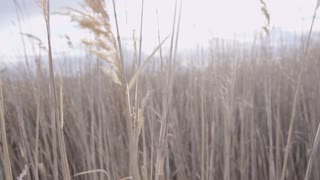 close up of tall grass blowing in the breeze