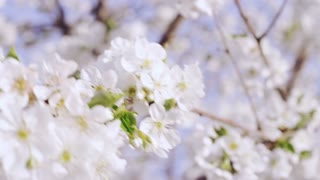 close up of white blossoms in orchard
