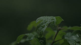 rain falling on leaves