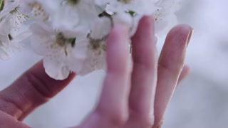 slow motion close up or woman's hand touching  flower blossoms