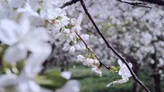 slow motion white blossoms in orchard