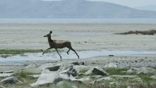 Small deer runs through marshy land