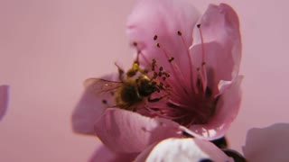 slow motion close up of bee pollinating a flower
