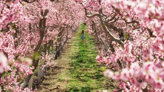 Slow motion girl playfully running through pink blossoms in orchard