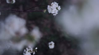 slow motion girl walking through orchard of white cherry blossoms