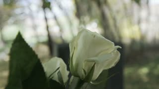 Slow motion of white roses on gravestone