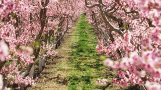 Slow motion tilt of pink blossoms