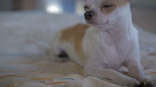 A chihuahua dog lying down on a blanket falls asleep - dolly shot