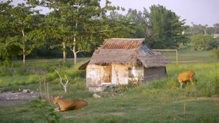 A deserted single room home stands abandoned where a couple of cows graze nearby in 4k