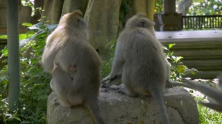 A group of monkeys sitting on a rock with their backs to the camera ignoring and turning away from people.