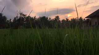 A house in Bali during sunset or sunrise n a rice field, at the edge of a jungle establishing dolly shot.