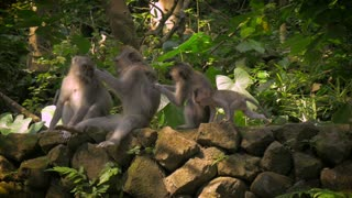A line of monkeys in the Monkey Forest in Ubud are grooming each other