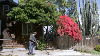 A man sweeps dead leaves from a driveway with a broom in front of a wood shingled house with red bougainvilleas, a wooden gate, and a large cactus.