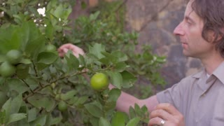 A middle aged man inspects a lime outside on a single lime tree in slow motion with a steadicam.