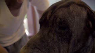 Close up portrait of a Great Dane's head while her middle aged owner cleans her off in a large bathtub at home.