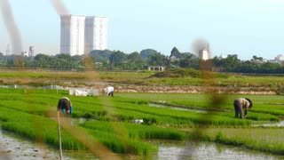 Dolly shot of rice farmers working in rice paddy fields as urban growth develops near rural land displacing people as economies grow in all parts of the world.