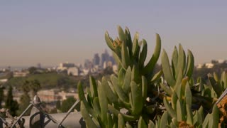 Downtown Los Angeles, CA seen from East LA, dolly shot revealing the skyline through succulent flowering plants