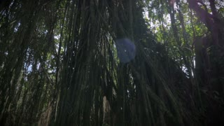 Liana tree roots in the jungle showing the thick canopy of the forest with sun flare in Ubud Bali Stock Video Footage - VideoBlocks & Liana tree roots in the jungle showing the thick canopy of the ...