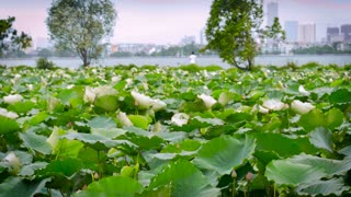 Lotus leaves, and pink blossoms blow in the wind against the backdrop of the city skyline of Hanoi along lake Ho Tay in Tay Ho westlake Vietnam with a fisherman fishing in slow motion.