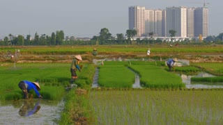 Lush green rice fields with farmers working as new skyscrapers are being constructed in rural areas. Building with cranes show the progress of third world countries.
