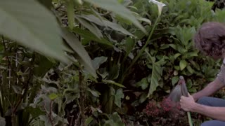 Middle aged man watering a outdoor tropical garden with a spray hose while inspecting various plants and flowers in slow motion with a steadicam.