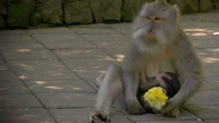Monkey eats corn while her baby is nursing in the Monkey Forsets in Ubud, Bali